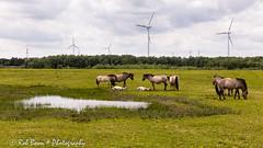 20160521_4136_Meers (Rob_Boon) Tags: horse netherlands maas limburg meers robboon