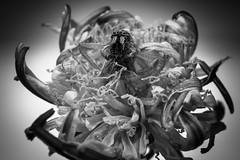 Deadelion - A Flower as a Grave (AxelBergeron) Tags: flowers blackandwhite bw flower macro nature fleur monochrome closeup fleurs bug insect dead photography death spider blackwhite noiretblanc mort bugs dandelion macabre blacknwhite insecte araignée pissenlit macrophotography a5000 sel30m35 sonya5000