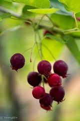 2016 June Berry (Yorkey&Rin) Tags: macro japan may olympus kanagawa 庭 rin kawasaki マクロ inmygarden 2016 em5 juneberry 5月 leicadgmacroelmarit45f28 ジューンベリー t5290725