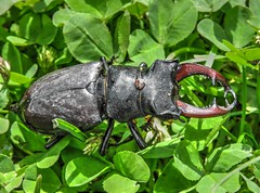 Vliegend hert (Lucanus cervus), ♂    --HDR-- (Frank Berbers) Tags: insect kever käfer bug beetle coleoptera coléoptères scarabaeiformia lucanidae vliegendhert grootvliegendhert zeldzaam hirschkäfer feuerschröter donnergugi stagbeetle rare seltene hdr highdynamicrange imagerieàgrandegammedynamique lucanecerfvolant nikoncoolpixp610 macro zuidlimburg nederland doodexemplaar toteexemplar exemplairemorte deadspecimen