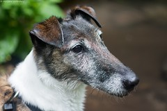 Koda (Morgane_W) Tags: dog chien animal 35mm eau smooth terrier fox nikkor baignade nikond7100