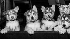 Asomados los cachorros!! (Alyaz7) Tags: pets cute blancoynegro dogs fun puppies little stare looks perros cachorros mascotas sights vr peering pequeños divertido miradas ternura monocromático asomados rawquality huskysyberian nikond7200 flashyongnuoyn560ii lentenikonnikkorafs1855mm13556giidxvr