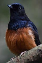 Common shama trush @ Burgers' Zoo 13-04-2016 (Maxime de Boer) Tags: bird animals zoo arnhem burgers common dieren shama vogel dierentuin trush copsychus malabaricus shamalijster
