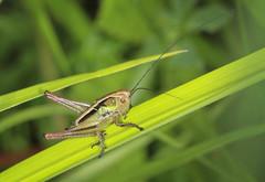 Roesel's Bush Cricket Nymph (Prank F) Tags: uk macro nature closeup insect bush wildlife cricket rutland ketton wildlifetrust lrwt roesels kettonquarry nynph