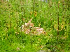 Baby damhert (Meino NL) Tags: deer fallowdeer alkmaar damadama damhert kinderboerderijdehout babydamhert