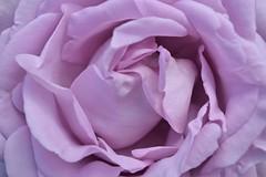 A Blue Moon (daviddaniels989) Tags: flower rose garden bluemoon