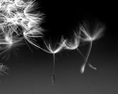 Wishes (brennapear) Tags: blur flower detail movement dandelion wish minimalist