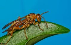 Wasp (torqueabhi) Tags: light detail green nature closeup fly leaf compound eyes nikon wasp bokeh sting details bugs flies macros tamron diffuser macroshot macrophoto naturelover extensiontubes externalflash iamn yongnuo d5300 iamnikon tamronaf70300mmf456divcusdif