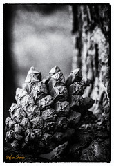 Fir Cone.... (BABAYAGA321) Tags: family blackandwhite bw forest cone cumbria fir 2016 whinfellforest centerparcs2016