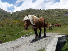 Le chef (Franois Magne) Tags: cheval libert poulain jument blond blonde bai frange montagne etang lanoux estany de lanos lac etalon pyrnes