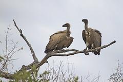 White-backed Vultures- Kruger National Park, South Africa (wsweet321) Tags: africa bird nature southafrica mammal birding safari research endangered krugernationalpark kruger satara bigfive skukuza knp lowersabie