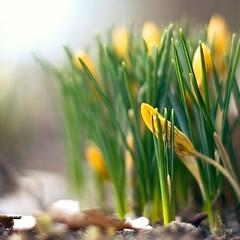 (~janne) Tags: plant flower nature 50mm flora f14 natur pflanzen olympus blume krokus wetzlar leitz janusz manuell summiluxr e520 ziob