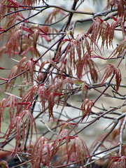 Day 364 - Hanging Leaves (Yugidean) Tags: nature beauty leaves leaf leafy dainty japaneseredmaple ilovethistree