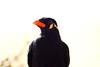 Flora & Fauna / Estornino Hablador de las Colinas de la India -- (--ecantu-- / Eduardo Cantu) Tags: las india de photography la indian hill colinas indica mynah hablador estornino gracula ecantu eduardocantu