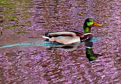 Mallard and Cherry Blossom Reflection (g crawford) Tags: park pink reflection bird water smile smiling birds reflections cherry reflecting scotland duck blossom glasgow parks scottish reflect cherryblossom mallard crawford kelvingrove scots kelvingrovepark