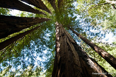 Taller than Life (idashum) Tags: california nature train ride mendocino redwood redwoods shum skunktrain trainride sequoiasempervirens californiawesternrailroad idashum idacshum