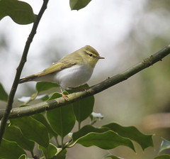 Wood warbler - (Phylloscopus sibilatrix) (Joe__M) Tags: uk wild summer england bird forest canon season photography spring singing walk wildlife sigma off explore devon breeding mission british calling visitor stroll dartmoor migrant riverteign woodwarbler phylloscopussibilatrix drewsteignton finglebridge eos7d 120400mmf4556day