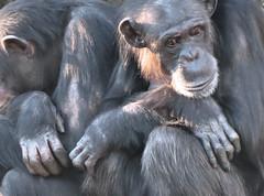 Sasha and Shikamoo: Relaxing (myopixia) Tags: sasha chimpanzee sacha taronga tarongazoo pantroglodytes myopixia shikamoo