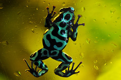 Auratus Costa Rica (Explored 20 mar 2012, page 11) (Drriss) Tags: macro frogs greenandblackpoisondartfrog dendrobatidae poisondartfrogs abigfave taxonomy:order=anura taxonomy:genus=dendrobates taxonomy:binomial=dendrobatesauratus taxonomy:family=dendrobatidae vividstriking blinkagain flickrhivemindgroup taxonomy:superfamily=dendrobatoidea bestofblinkwinners blinkagainsuperstars blinksuperstars taxonomy:subfamily=dendrobatinae highqualityanimals