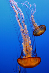 Sweet Jellies... (Alexis Foissy Photography) Tags: ocean california sea usa mer apple canon aquarium monterey jellies jellyfish montereybayaquarium medusa iphone mduse 50d chrysaorafuscescens flickraward thebestofday gnneniyisi 100commentgroup mygearandme mygearandmepremium