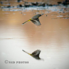 Grey Wagtail (Nigel Dell) Tags: birds spring wildlife greywagtail ngdphotos