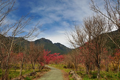 DSC_9822s (eRika ~) Tags: cherry spring blossom farm sakura     wuling