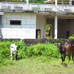 "Cows with Abandoned Villa <a style=""margin-left:10px; font-size:0.8em;"" href=""http://www.flickr.com/photos/14315427@N00/7115117045/"" target=""_blank"">@flickr</a>"