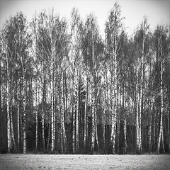 Straight (A blond-Tess) Tags: trees bw monochrome field canon square spring straight toned lightroom poorlight splittoning dullweather briches sandshult swedenapril