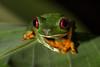 Red-eyed Tree Frog  Agalychnis callidryas (mikebaird) Tags: costarica frog getty gettyimages iphone agalychniscallidryas redeyedtreefrog notgps notgeotagged mikebaird 06may2012