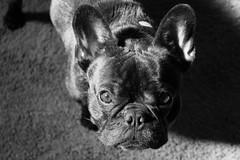 05-08-12 (926) Light & Ozzy (Lainey1) Tags: shadow bw dog nose eyes shadows adorable canine bulldog mug frenchie frenchbulldog 365 pup pooch bully lightshadow ozzy muzzle thirdyear frogdog 050812 926 lainey1 zendog thethirdyear nex5 sonynex5 elainedudzinski 926oz ozzythefrenchie
