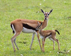 Thompson's Gazelle Mother And Baby (Alternate Perspective) Tags: safari masaimara wildanimals