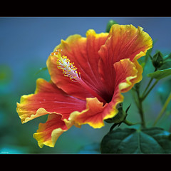Brilliant Hibiscus (-clicking-) Tags: red flower macro green nature floral beautiful beauty yellow closeup garden petals flora pretty dof natural blossom bokeh stamens hibiscus bloom brilliant blooming pistils thegalaxy hoadmbt coth5 blinkagain vietnameseflowers