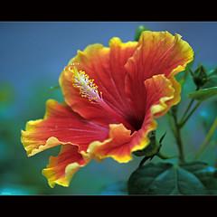 Brilliant Hibiscus (-clicking-) Tags: red flower macro green nature floral beautiful beauty yellow closeup garden petals flora pretty dof natural blossom bokeh stamens hibiscus bloom brilliant blooming pistils thegalaxy hoadâmbụt coth5 blinkagain vietnameseflowers