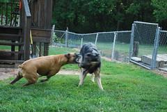 DSC_6356 (aerofan245) Tags: birthday dog 3 dark shepherd sage german batman knight batdog gsd