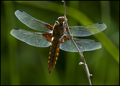 BROAD-BODIED CHASER (d1ngy_skipper) Tags: chaser broadbodied