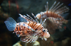 fish coral environment caribbean predator reef lionfish accidental saltwater invasive californiaacademyofsciences invasivespecies introduced unintended steinhartaquarium aquariumtrade peroisvolitans scorpaenoids