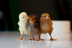 Ooh! (d0gXxX) Tags: chicks pulcini