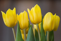yellow tulips (Diego Tabango) Tags: california flowers usa color macro yellow cali outdoors nikon tulips bokeh sigma diego os 28 mothersday d4 150mm tabango
