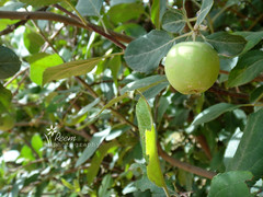 "@ Farm *()""""""""3 (Reem.S.Q) Tags: farm appel  reem"