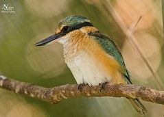 Sacred Kingfisher (Nolan White) Tags: red bird birds wildlife australia kingfisher heads queensland newsouthwales birdphotography sacredkingfisher northernrivers nolanwhite nolanwhitephotography northernriverstweedheads