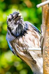 Blue Jay (Brian E Kushner) Tags: blue bird birds animals newjersey backyard nikon jay wildlife bluejay 300mm f4 audubon cyanocittacristata birdwatcher d4 backyardbirds nikor tc17eii tc17 nikond4 audubonnj bkushner brianekushner nikon300mmf40dedifafsnikkorlens