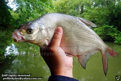 Bream - Abramis brama (puffinbytes) Tags: greatbritain england animals unitedkingdom carps bream hertfordshire animalia minnows cyprinidae cypriniformes chordates chordata actinopterygii rayfinnedfishes abramis abramisbrama taxonomy:kingdom=animalia taxonomy:phylum=chordata taxonomy:class=actinopterygii taxonomy:family=cyprinidae taxonomy:order=cypriniformes leuciscinae spb:country=uk spb:id=01f5 spb:species=abramisbrama spb:pty=f taxonomy:subfamily=leuciscinae taxonomy:genus=abramis taxonomy:species=brama taxonomy:binomial=abramisbrama taxonomy:common=bream spb:lid=00a0 spb:pid=08c2
