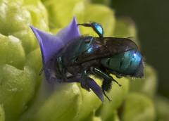 Pausa para almoo (Carlos Gustavo Kersten) Tags: macro mosca bromlia varejeira
