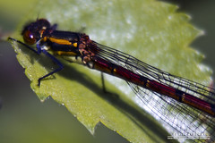 Large Red Damselfly (DMeadows) Tags: macro nature closeup insect scotland fly wings damselfly striped aberfoyle extensiontube largereddamselfly extensiontubes davidmeadows dmeadows davidameadows dameadows davidmeadowsdragonfliesdamselflies yahoo:yourpictures=yourbestphotoof2012