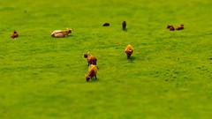 Little big bulls (Hayn0r) Tags: uk brown macro green grass canon eos kent shift sigma bulls 70300mm tilt day61 dg folkestone 70300 tiltshift cpcc 600d 365days