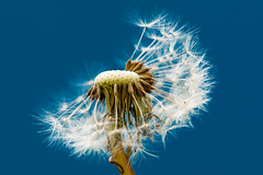 335 - Gone to Seed (Gary Forrest) Tags: blue sky photo nikon seed gone f28 dandilion d800 2470