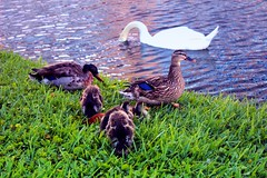 ducks-swan-downtown-disney (funmamas) Tags: disneyworld disneyanimalkingdom disneyepcot disneymagickingdom waltdisneyworldresort disneythemeparks waltdisneyworldflorida disneyhollywoodstudios livingdisneycom