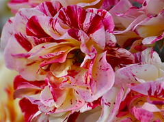 Confetti Blooms (The Spirit of the World) Tags: california flower nature rose garden spring flora sandiego rosegarden balboapark thegalaxy awesomeblossoms