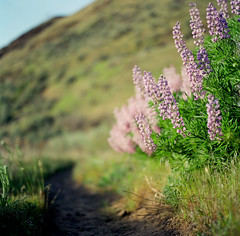 that morning sky gave me a look, so i left while you were sleeping (after october) Tags: sky film grass oregon spring path trail pacificnorthwest wildflowers hillside lupine thedalles hasselblad500cm deschutesrecreationarea railbedtrail ivebeencompletelytakenwithblindpilotsinceisawtheminconcertwiththeshinslastweek illbeback
