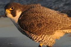 2012 Peregrine Falcon 20 (DrLensCap) Tags: chicago bird robert point illinois il raptor falcon montrose kramer sanctuary peregrine mygearandme mygearandmepremium mygearandmebronze mygearandmesilver